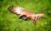 Photo of small bird in flight.
